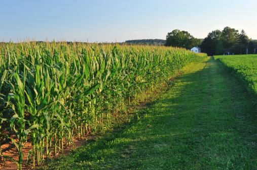 Pennsylvania「Corn Field in Pennsylvania」:スマホ壁紙(17)