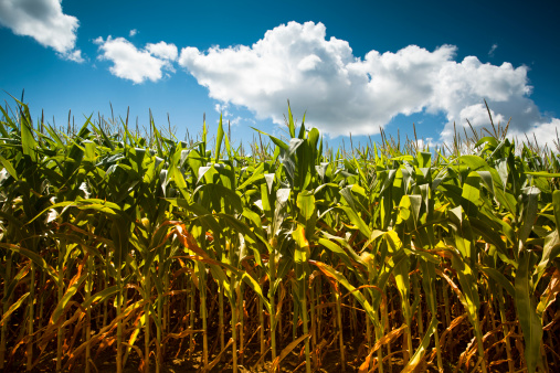 Indian Corn「Corn field under the summer sun」:スマホ壁紙(14)