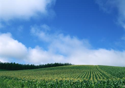 Grove「Corn Field」:スマホ壁紙(9)