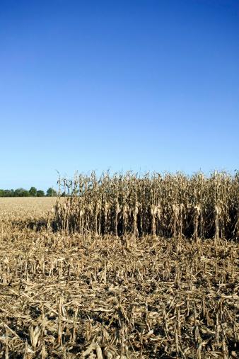 Hair Stubble「Corn field」:スマホ壁紙(6)