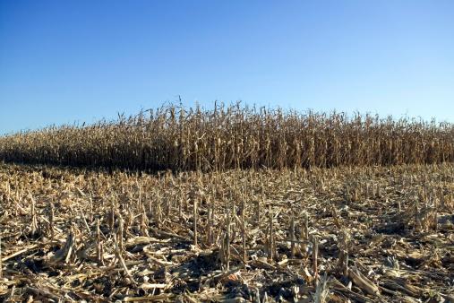 Hair Stubble「Corn field」:スマホ壁紙(4)