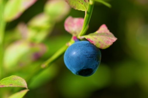 Dalarna「Forest Blueberry in Sweden against green background」:スマホ壁紙(6)