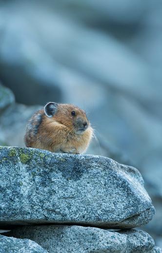 うさぎ「American Pica (Ochotona princeps) resting on rock, Washington State, USA」:スマホ壁紙(0)