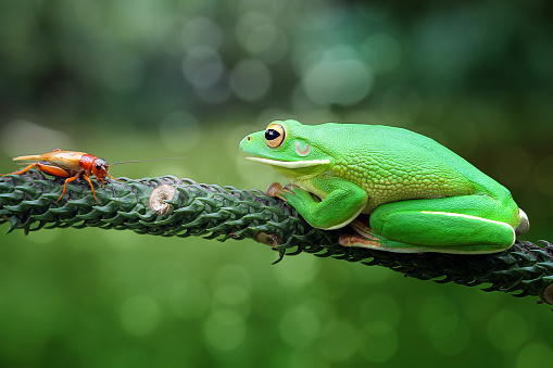 Animals Hunting「White-lipped tree frog looking at an insect, Indonesia」:スマホ壁紙(3)