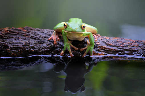 Frog「White-lipped tree frog (litoria infrafrenata) sitting on a branch by a pond, Indonesia」:スマホ壁紙(14)