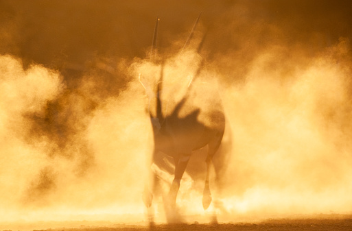 Antelope「Silhouette of an oryx in the desert dust, Kgalagadi Transfrontier Park, South Africa」:スマホ壁紙(18)