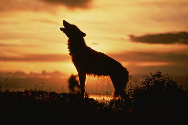 Silhouette of wolf howling at sunset:スマホ壁紙(壁紙.com)