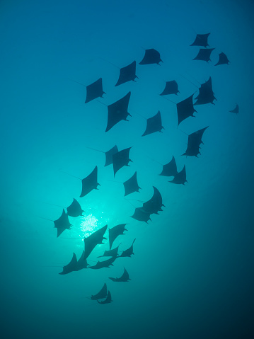 Fish「Silhouette of a fever of eagle rays, Raja Ampat, West Papua, Indonesia」:スマホ壁紙(11)