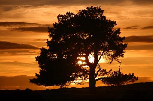 イギリス「Silhouette of a tree at sunset, North Yorkshire, England」:スマホ壁紙(7)
