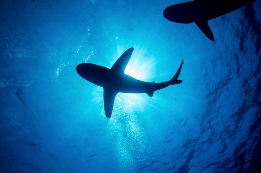 Animals Hunting「Silhouette of an oceanic whitetip shark with rays of light shining through, Cat Island, Bahamas.」:スマホ壁紙(3)