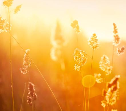 花畑「シルエットの花の牧草地での日の出」:スマホ壁紙(9)