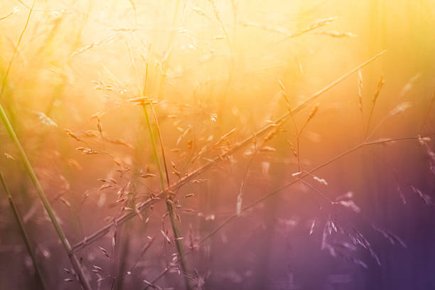 Silhouette of wildflowers in meadow during sunrise or sunset:スマホ壁紙(壁紙.com)