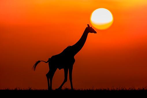 キリン「Silhouette of a giraffe at sunset」:スマホ壁紙(18)