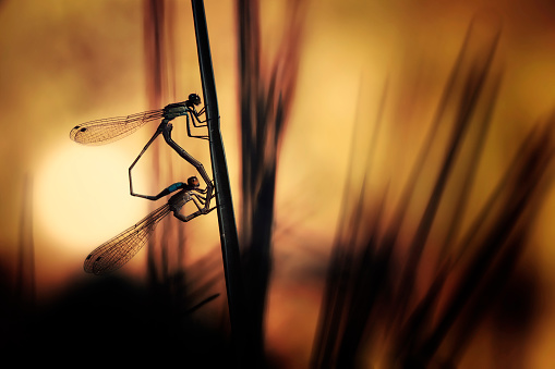 Dragonfly「Silhouette of two dragonflies mating at sunset」:スマホ壁紙(8)