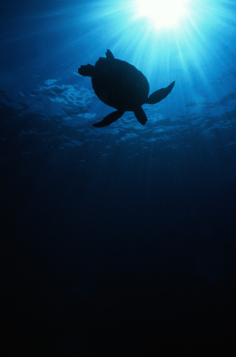 Green Turtle「Silhouette of Green Sea Turtle」:スマホ壁紙(11)
