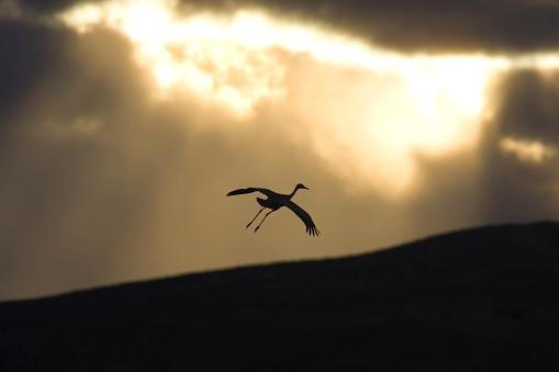 Glider「Silhouette of Flying Sandhill Crane Against Sunset」:スマホ壁紙(13)
