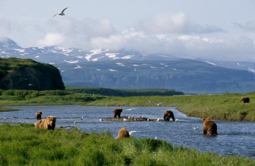 Salmon River  Alaska「Brown bears fishing for salmon」:スマホ壁紙(1)