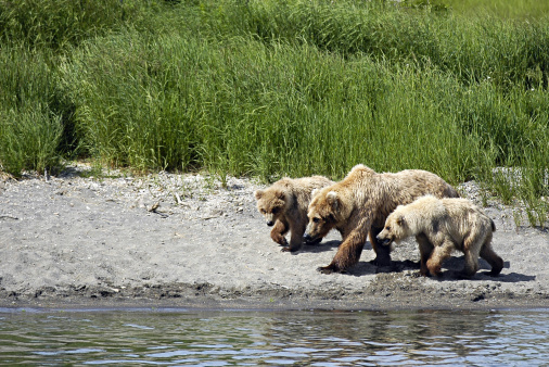 Omnivorous「Brown Bears, Ursus arctos, adult and cubs walking along beach. Katmai National Park. Alaska. USA」:スマホ壁紙(9)