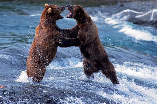 Fighting「Brown Bears Fighting」:スマホ壁紙(18)
