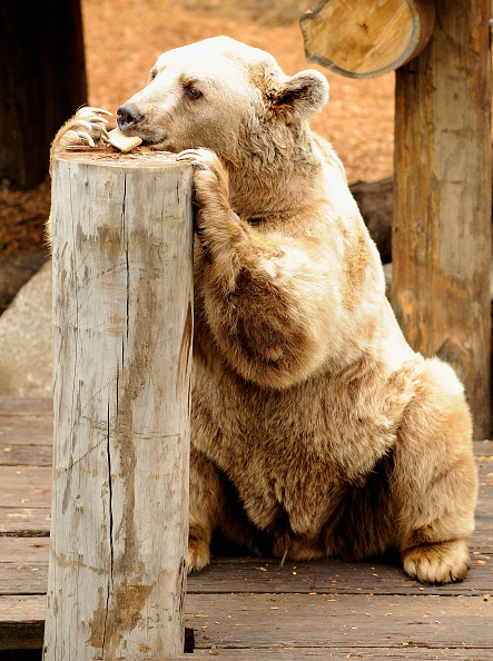 Melbourne Zoo「Melbourne Zoo's Brown Bears Show Off Their New Home」:写真・画像(1)[壁紙.com]