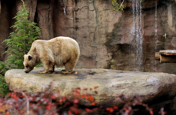 Melbourne Zoo「Melbourne Zoo's Brown Bears Show Off Their New Home」:写真・画像(2)[壁紙.com]