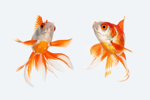金魚「Two goldfish」:スマホ壁紙(5)