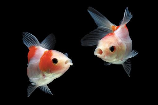 Goldfish「Two Goldfish swimming in fish tank」:スマホ壁紙(8)