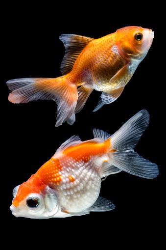 Goldfish「Two goldfish in a bowl」:スマホ壁紙(17)