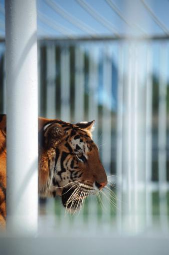 Tiger「tiger in cage」:スマホ壁紙(13)