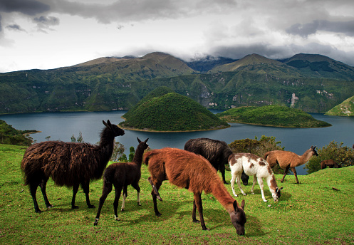 Alpaca「Ecuador, Llamas on pasture, Cuicocha lake in background」:スマホ壁紙(14)