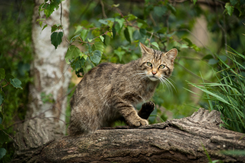 Animals Hunting「Scottish Wildcat hiding in a tree」:スマホ壁紙(17)