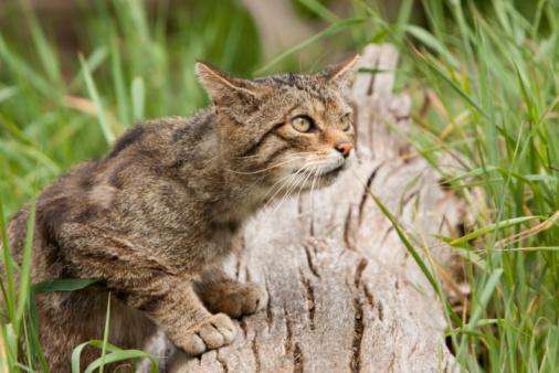 Mixed-Breed Cat「Scottish Wildcat from Scotland」:スマホ壁紙(15)