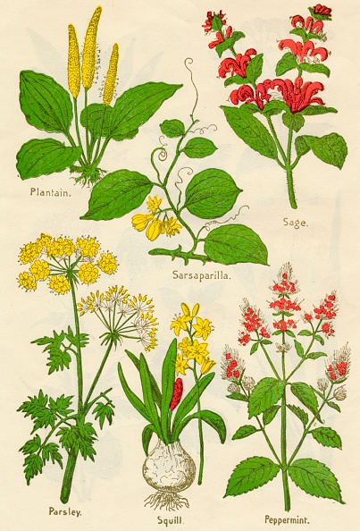 野菜・フルーツ「Flowers: Plantain, Sarsaparilla, Sage, Parsley, Squill, Peppermint, c1940」:写真・画像(10)[壁紙.com]