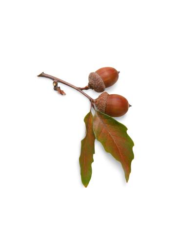 Oak Leaf「Acorns and Oak Leaves on White Background with Clipping Path」:スマホ壁紙(11)