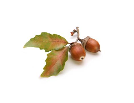 Oak Leaf「Acorns and Oak Leaves Isolated on White」:スマホ壁紙(5)