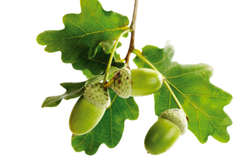 Oak Leaf「Acorns and oak leaves」:スマホ壁紙(9)