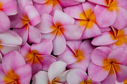 Frangipani「Pattern of pink Pulmeria (or Frangipani)  flowers」:スマホ壁紙(12)