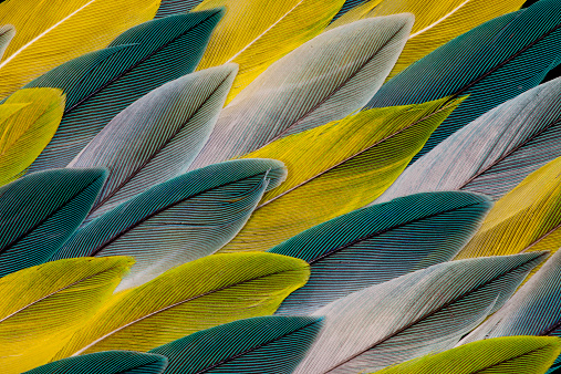 Feather「Pattern of Parrotlet Tail Feathers」:スマホ壁紙(11)