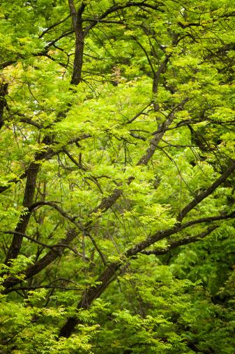 Ash Tree「Pattern of Spring Ash Trees」:スマホ壁紙(5)