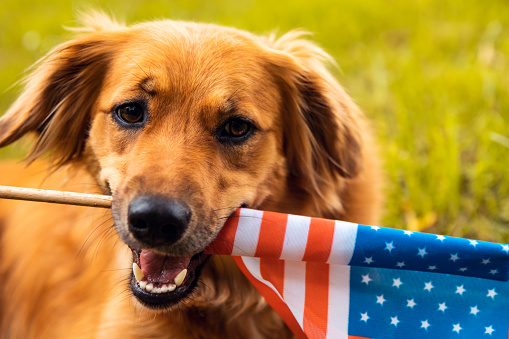 Patriotism「Red dog lying down on the grass and holding American flag」:スマホ壁紙(5)
