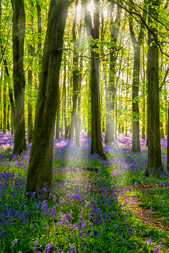 Bluebell「Bluebells And Sunbeams In An English Beechwood」:スマホ壁紙(2)
