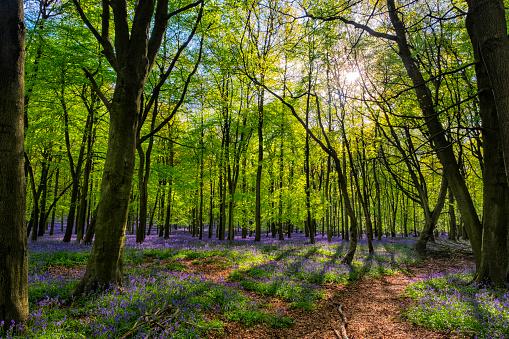 Bluebell Wood「Bluebells And Sunbeams In An English Beechwood」:スマホ壁紙(10)