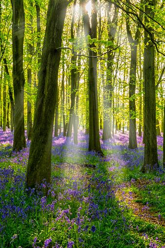 Vertical「Bluebells And Sunbeams In An English Beechwood」:スマホ壁紙(0)