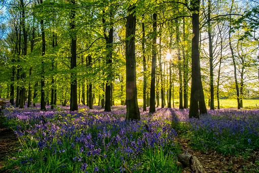 Bluebell Wood「Bluebells And Sunbeams In An English Beechwood」:スマホ壁紙(3)