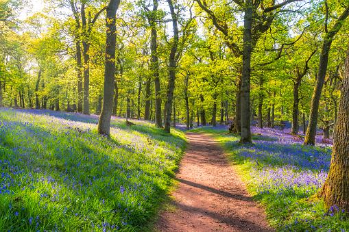 Perthshire「Bluebells and empty forest track, Perth, Scotland」:スマホ壁紙(9)