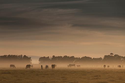 Cow「Early morning fog and sunshine on farmland」:スマホ壁紙(17)
