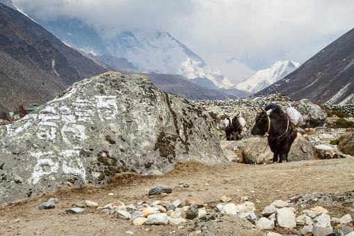 Khumbu「Yaks at Dingboche Village」:スマホ壁紙(13)