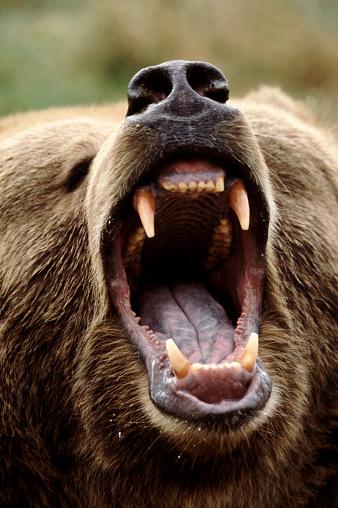 Furious「Growling Grizzly Bear」:スマホ壁紙(4)