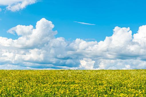 たんぽぽ「Germany, Fulda, Rhoen, sky with clouds above dandelion field」:スマホ壁紙(9)