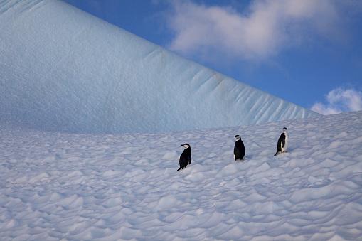 野生動物「Penguins on Iceberg.」:スマホ壁紙(0)